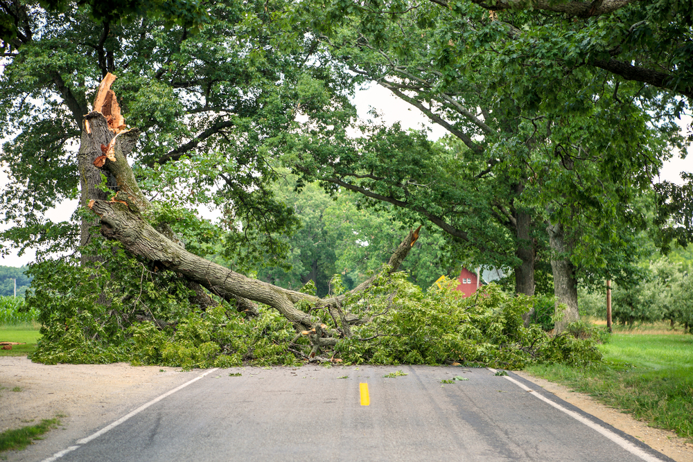 Fallen Tree Blocking A Road